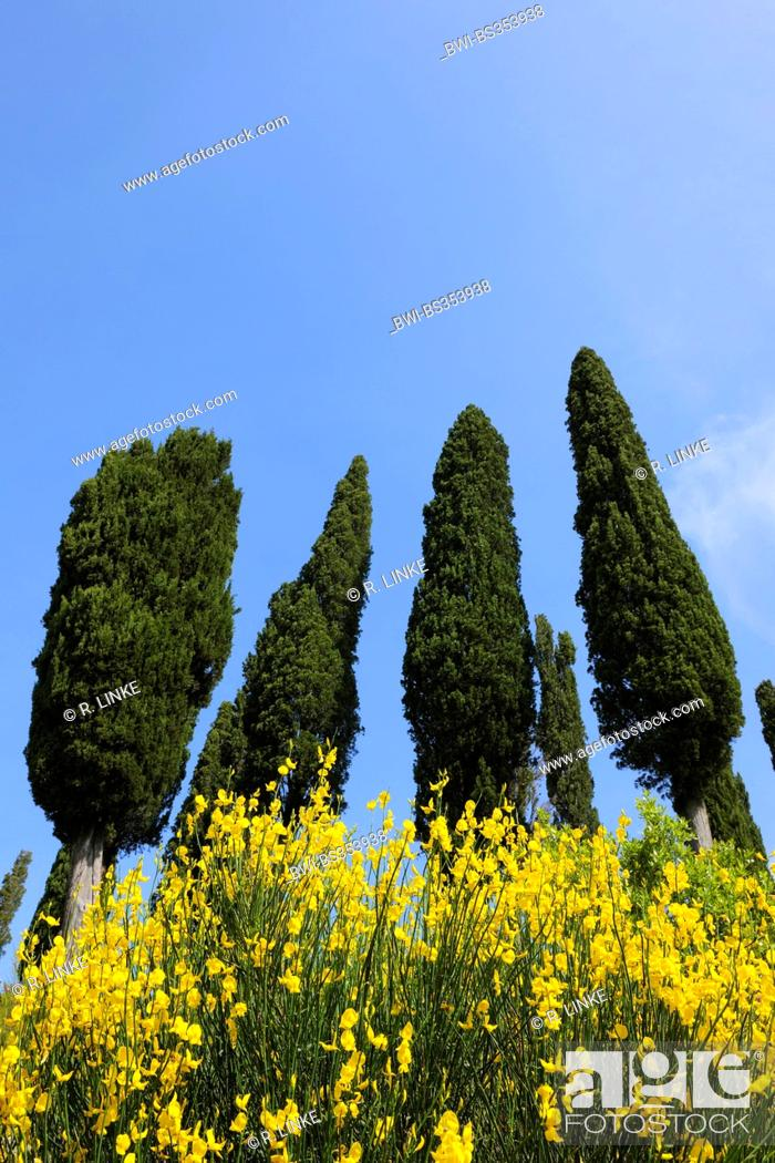 Stock Photo: Italian cypress (Cupressus sempervirens), looming row of trees, Italy, Tuscany, Siena.