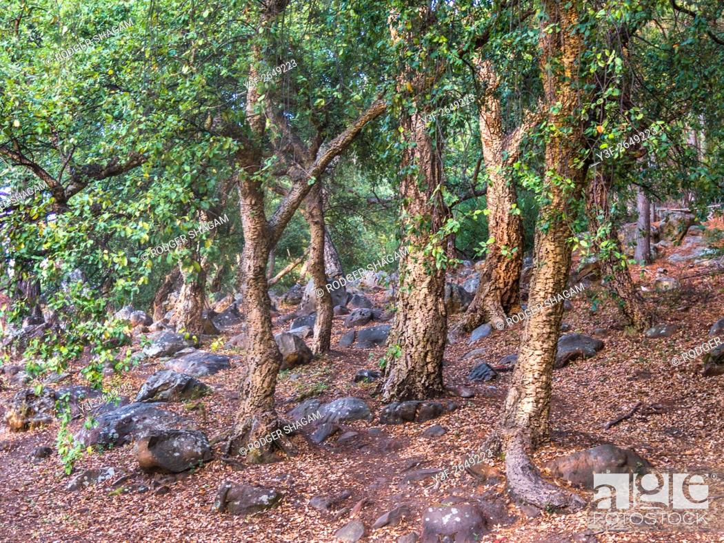 Stock Photo: Grove of old cork trees. On the southern slopes of Table Mountain, South Africa. The cork is too porous and therefore not useable.