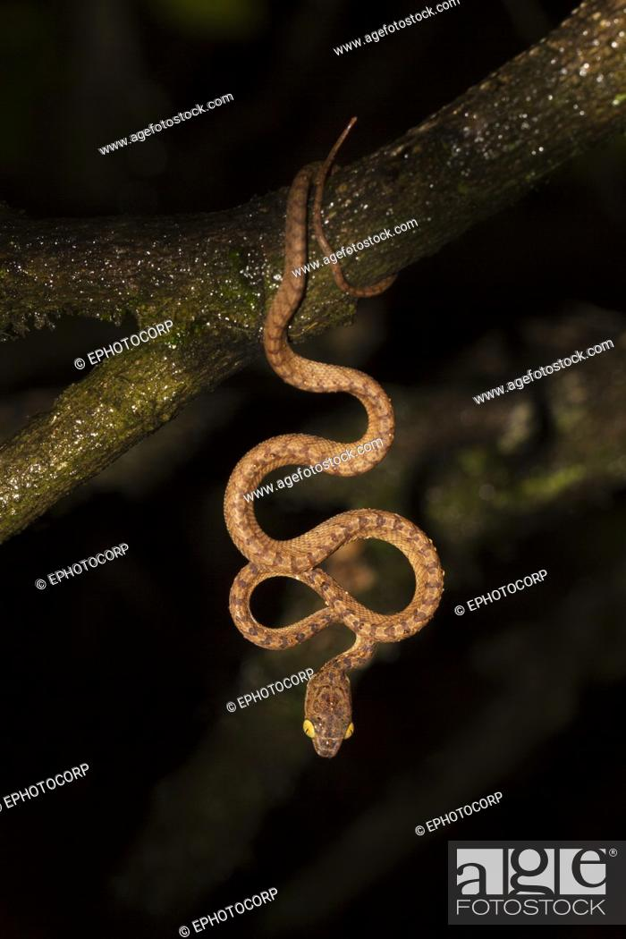 Stock Photo: Beddomes cat snake, Boiga beddomei, Amboli, Sawantwadi, Maharashtra, India.