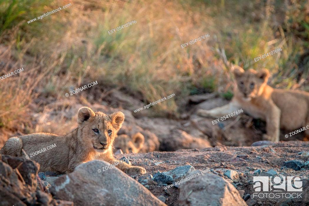 Stock Photo: Lion cubs laying on the rocks in the Pilanesberg National Park, South Africa.