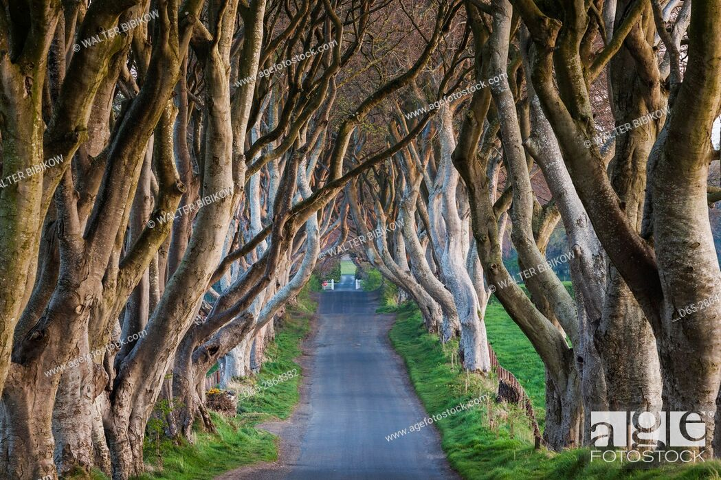 Stock Photo: UK, Northern Ireland, County Antrim, Ballymoney, The Dark Hedges, tree lined road, dawn.