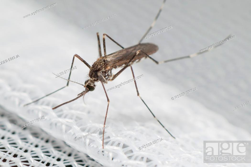 Stock Photo: Found from 2012 in Belgium and Italy Aedes koreicus is an Asian invasive species.