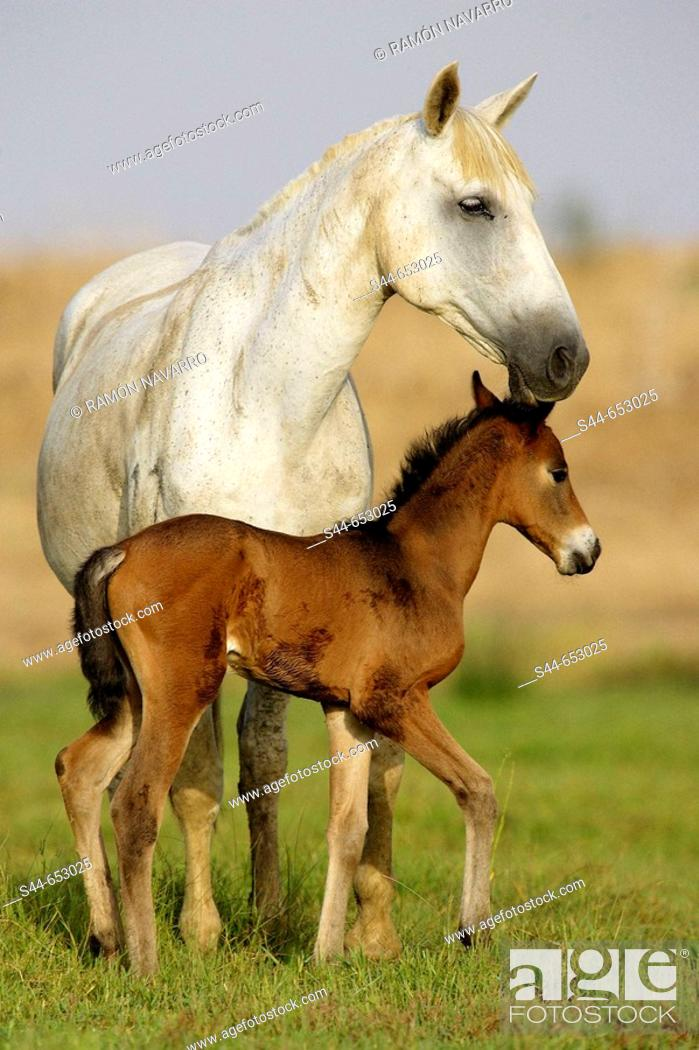 Stock Photo: Horses, Doñana National Park. Huelva province, Catalonia, Spain.