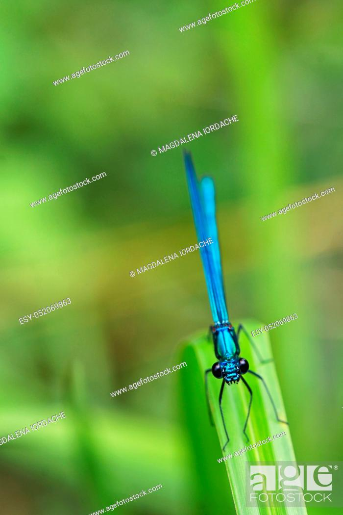 Stock Photo: Dragonfly Calopteryx splendens on leaf.