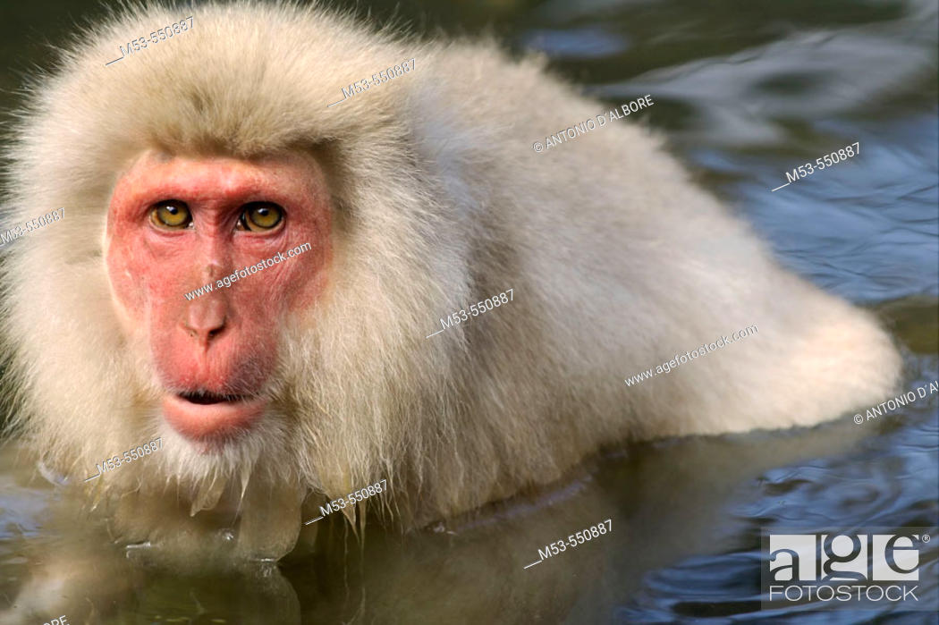 Stock Photo: snow monkey. jigokudani yaen-koen. nagano prefecture. chubu region. japan. asia.