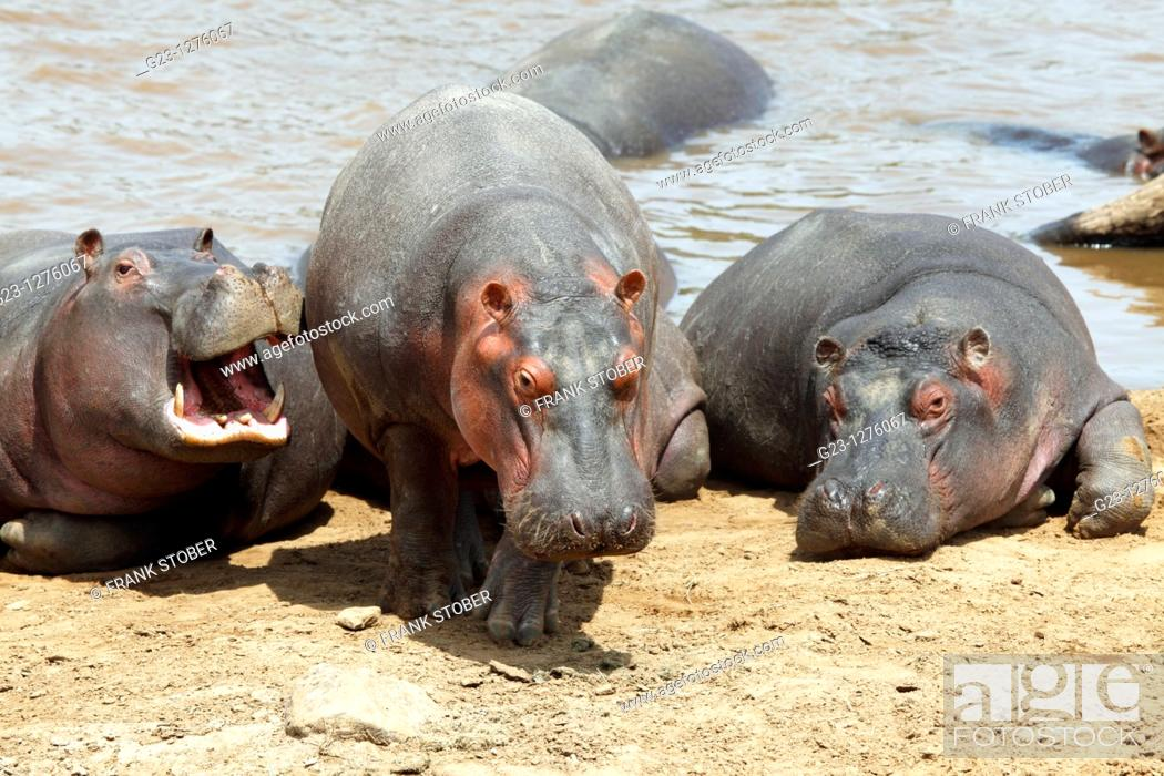 Stock Photo: Hippos.