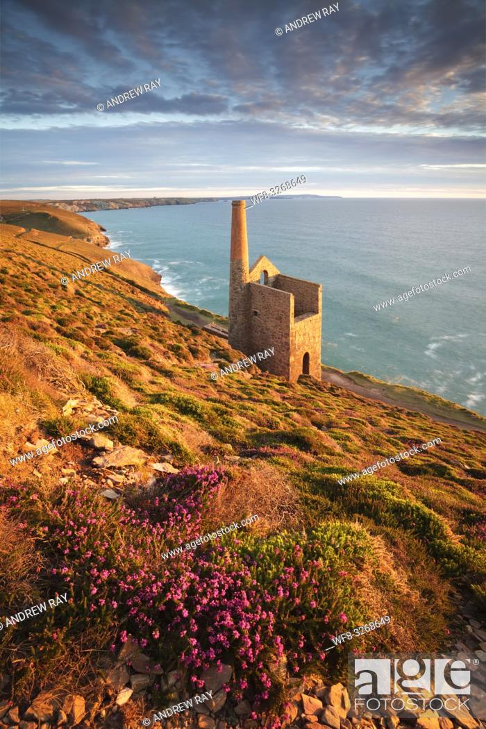 Stock Photo: Heather next to the footpath above Towanroath Engine House at Wheal Coates, near St Agnes on the North Coast of Cornwall.