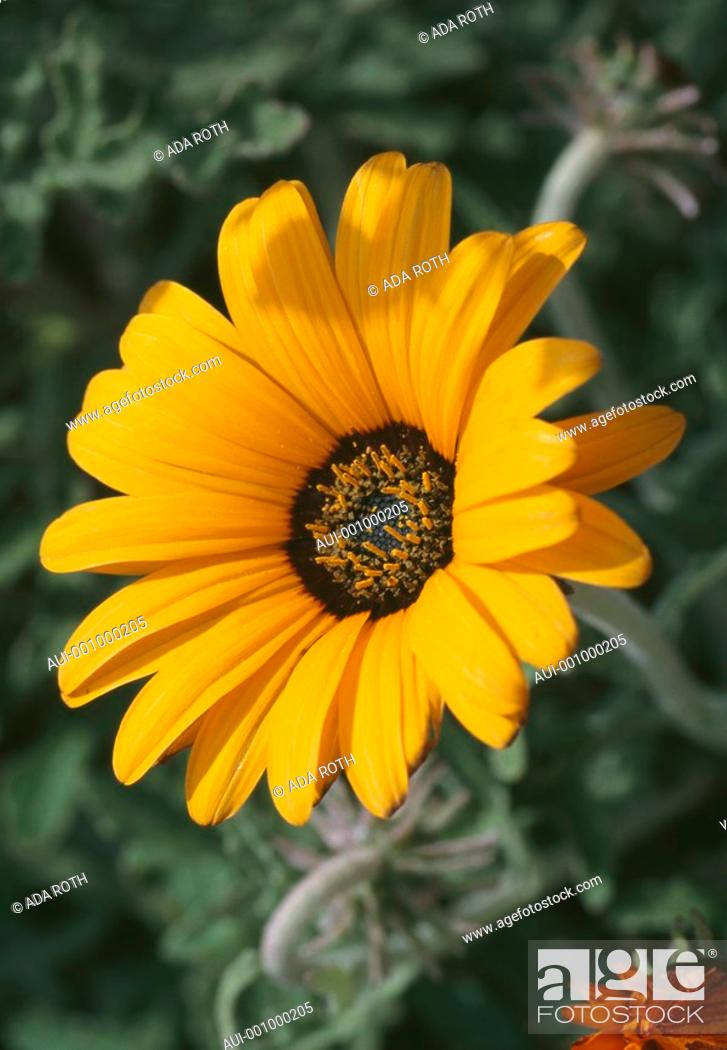 Stock Photo: Gazania - bright yellow corolla with a centered ring of black and amber.