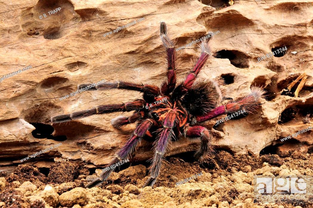 Stock Photo: Birdeater, tarantula (Pamphbeteus spec.), undescribes, colourful birdeater from Machala in Ecuador, Ecuador, Machala.