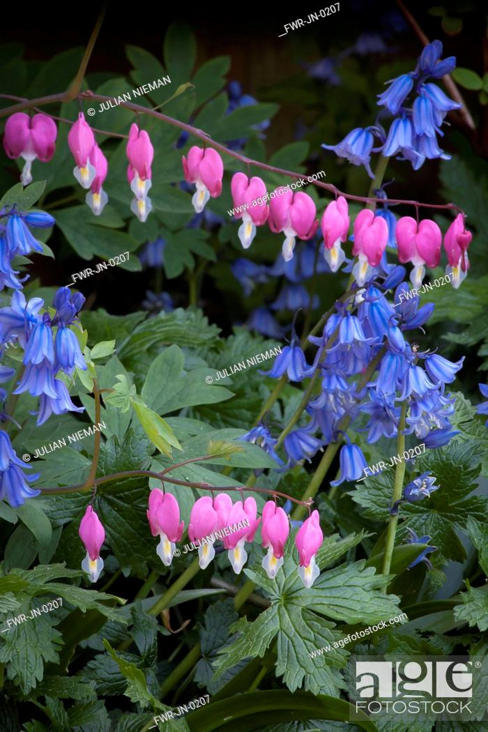 Imagen: Bleeding heart, Lamprocapnos spectabilis, Two stems of heart shaped flowers hanging gracefully above several stems of Spanish bluebell flowers.