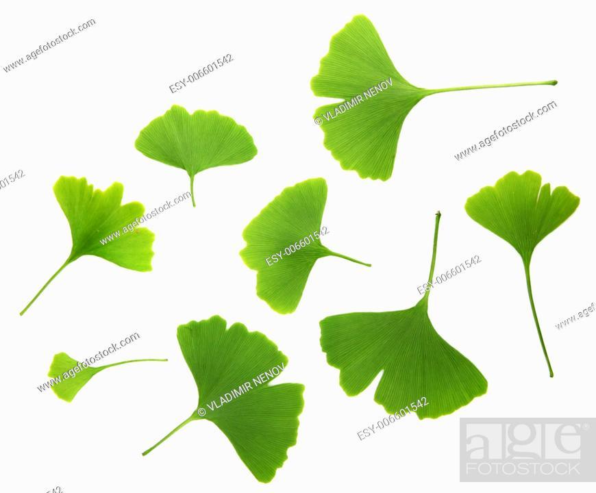 Stock Photo: ginkgo biloba leaves isolated on white background.