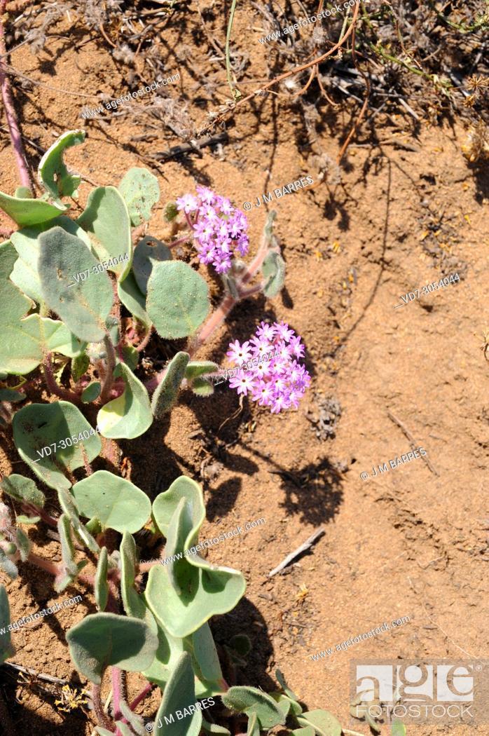 Pink Sand Verbena Abronia Umbellata Is A Prostrate Perennial Herb