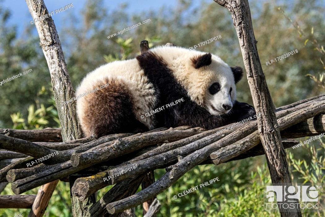Stock Photo: Giant panda (Ailuropoda melanoleuca) one-year old cub sleeping on wooden platform in zoo.