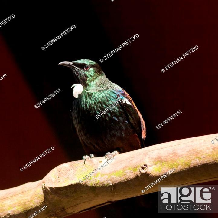 Stock Photo: Endemic New Zealand Bird Tui.