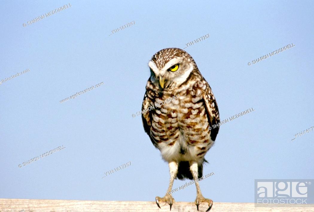 Stock Photo: Burrowing owl (Athene cunicularia) looking - no nonsense! Florida, USA.