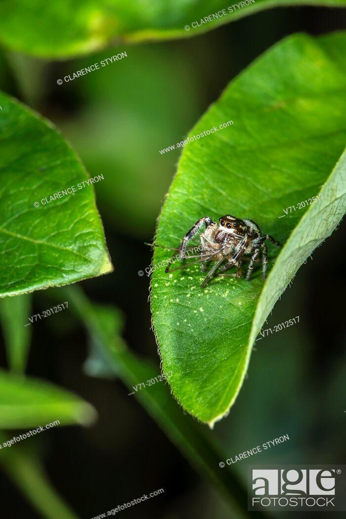 Stock Photo: Daring Jumping Spider Phidippus audax Feeding on Midge Chironomous plumosus on Honeysuckle Leaf Lonicera japonica.
