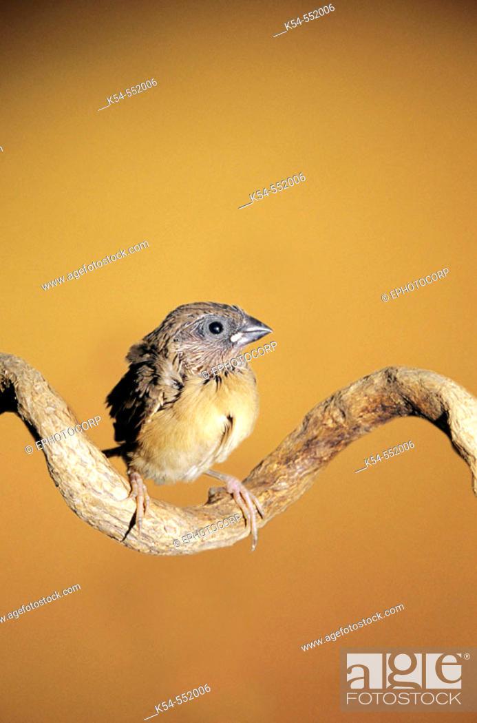 Stock Photo: Munia Bird.