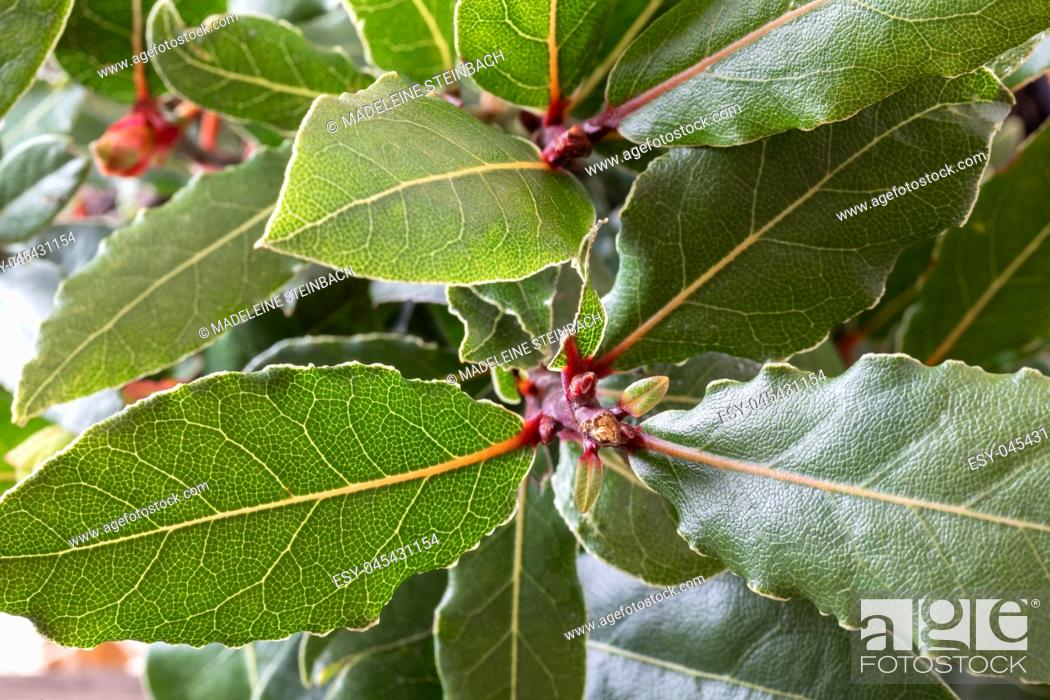 Stock Photo: Closeup of a bay leaf plant.