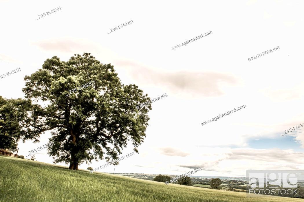 Stock Photo: Tree in Wheat field in Summer, Borris, County Carlow, Ireland.