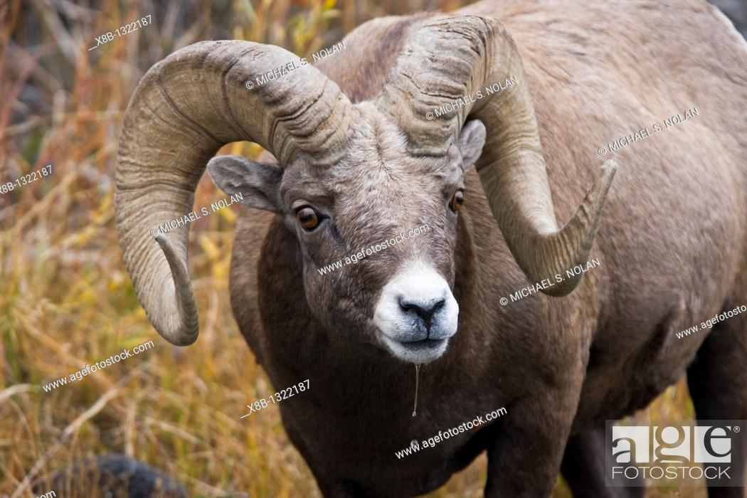 Stock Photo: Adult Rocky Mountain bighorn sheep Ovis canadensis canadensis just outside the boundry of Yellowstone National Park near Gardiner.