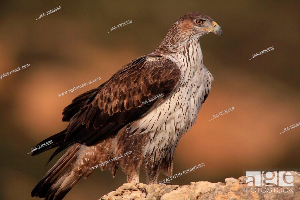Imagen: Bonelli's eagle (Hieraaetus fasciautus) in the Serranos region. Valencia. Spain.