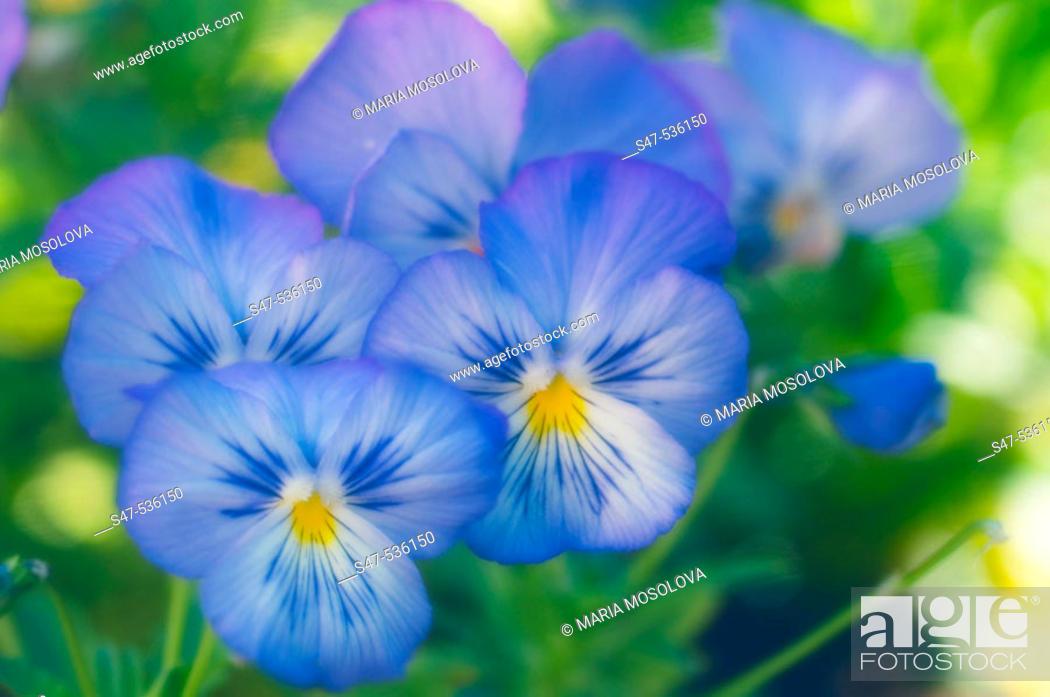 Stock Photo: Blue Pansy Flowers. Viola x wittrockiana, Maryland, USA.