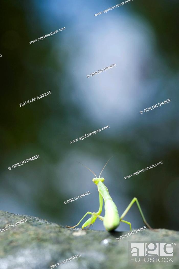 Stock Photo: Praying Mantis seated on rock, rear view.