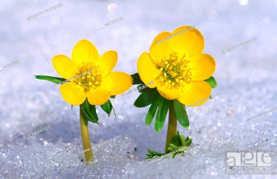 Stock Photo: Winter Aconite (Eranthis hyemalis) in snow. Bavaria, Germany.