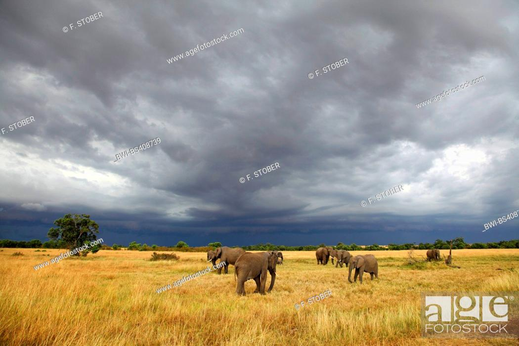 Stock Photo: African elephant (Loxodonta africana), grazing herd of elephants at approaching thunderstorm, Kenya, Masai Mara National Park.