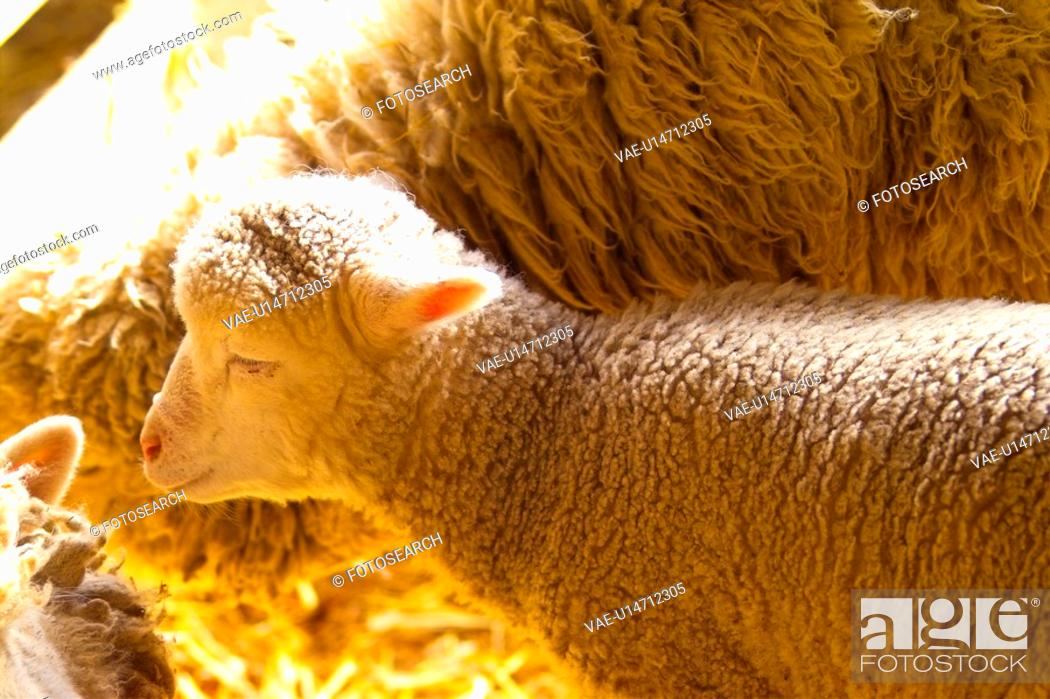 Imagen: domestic animal, sheep, land animal, mammal, vertebrate, animal.