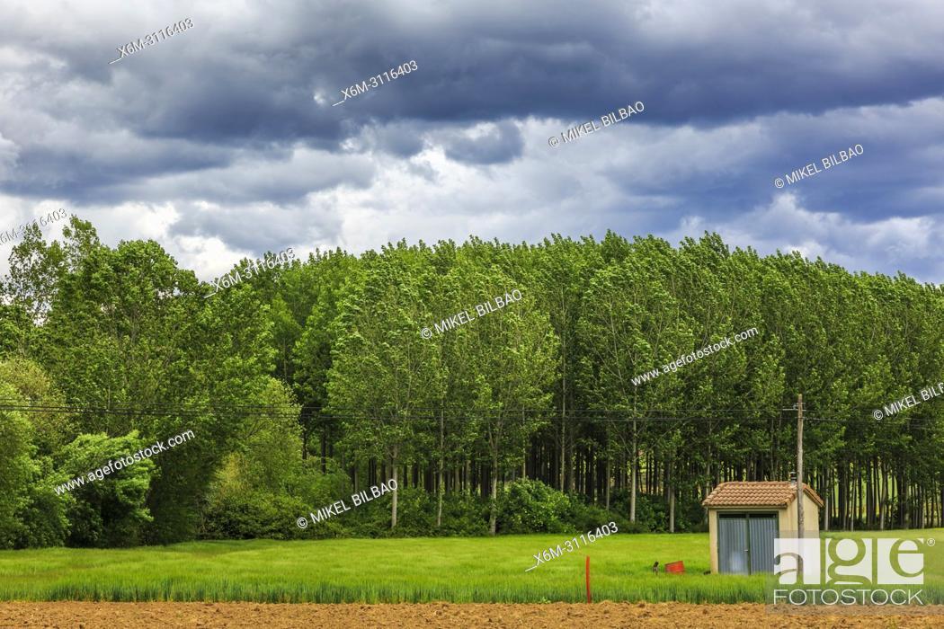 Stock Photo: Poplar grove and cereal land. Murieta, Navarre, Spain, Europe.