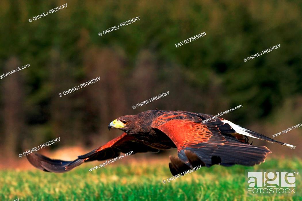 Stock Photo: Flying bird of prey, Harris Hawk, Parabuteo unicinctus, landing.