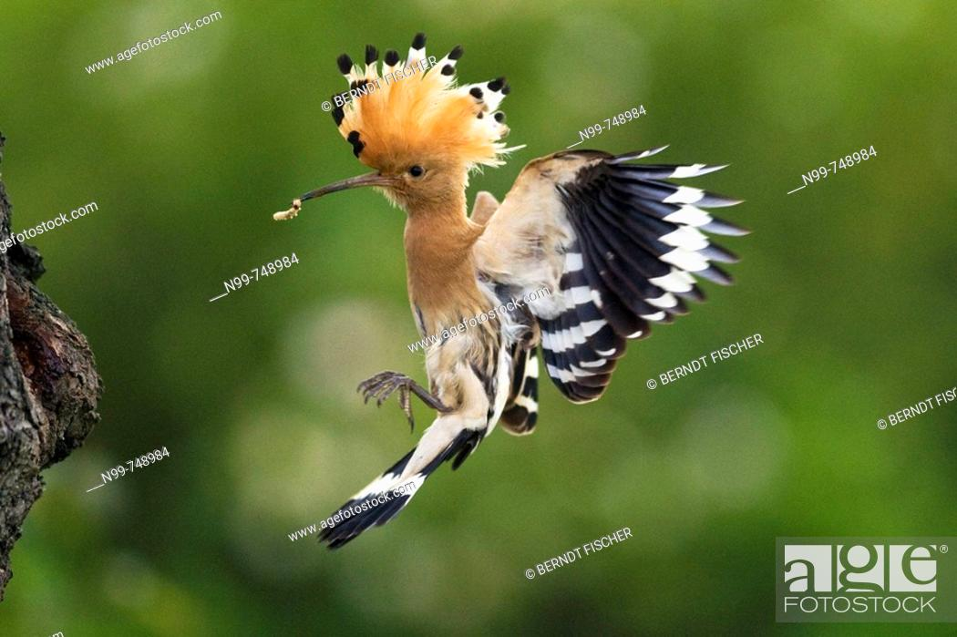 Stock Photo: Hoopoe (Upupa epops), landing at its nesting hole in an old cherry tree, Alsace, France.