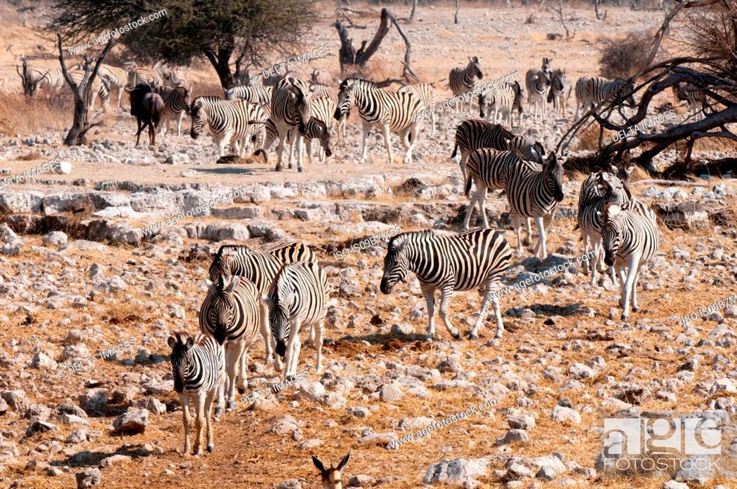 Stock Photo: Burchell's zebra (Equus burchellii), Etosha National Park, Namibia.
