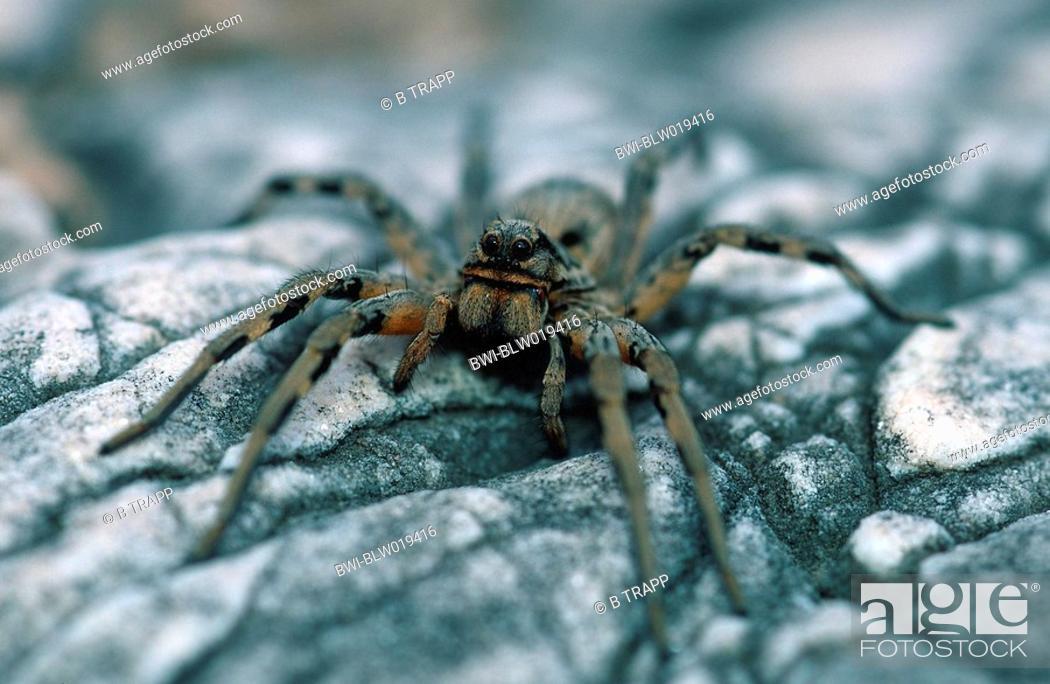 Apulian tarantula Lycosa tarentula, Apr 00, Stock Photo