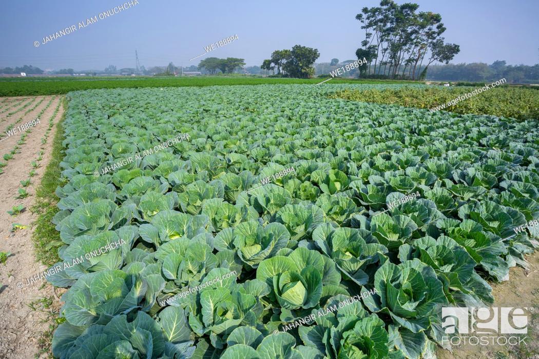 Stock Photo: Green Cabbage crop growing at vegetable field near of Savar, Dhaka, Bangladesh.