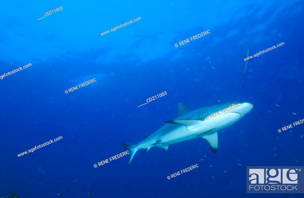 Stock Photo: Shark. Papua New Guinea.