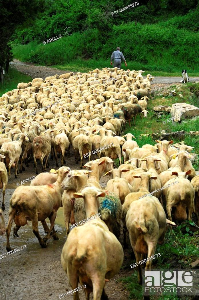 Stock Photo: A flock of sheep on its way to the pasture.