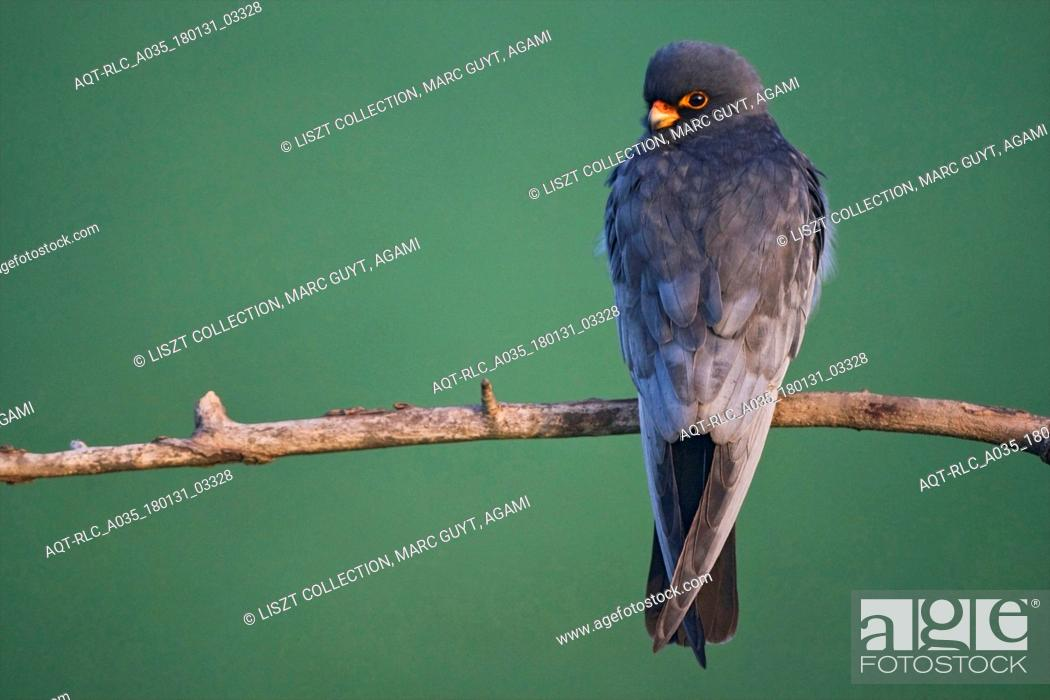 Stock Photo: Red-Footed Falcon, Falco vespertinus, Red-footed Falcon.