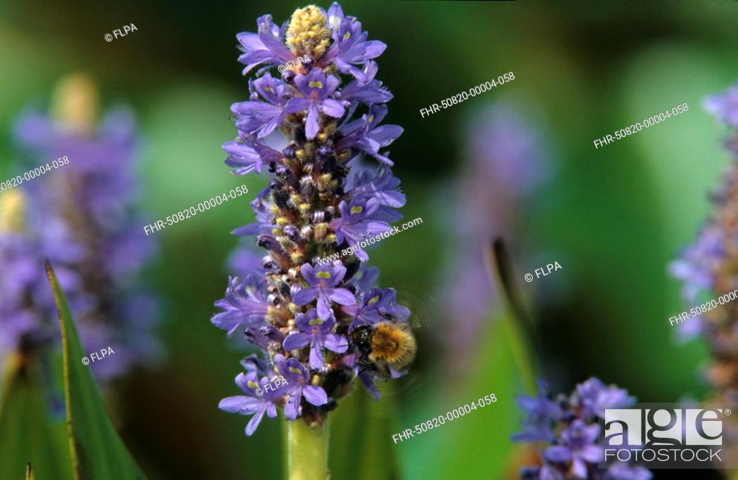 Stock Photo: Pickerelweed Pontederia cordata in flower, bee feeding.