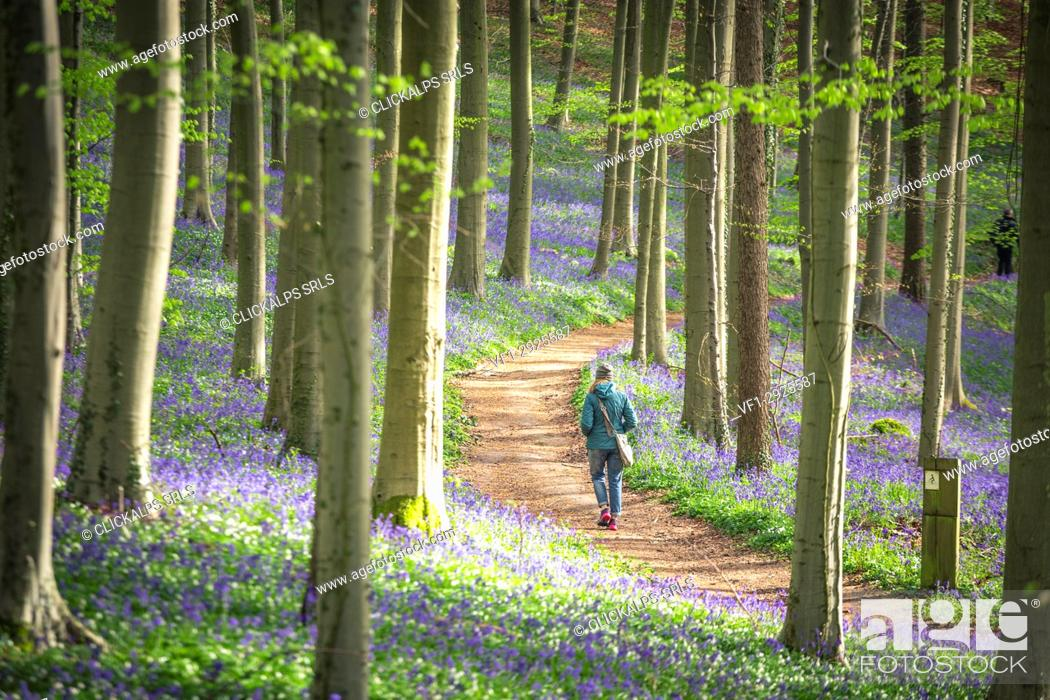 Stock Photo: Bluebells into the Halle Forest, Halle, Bruxelles, Flandres, Belgium.