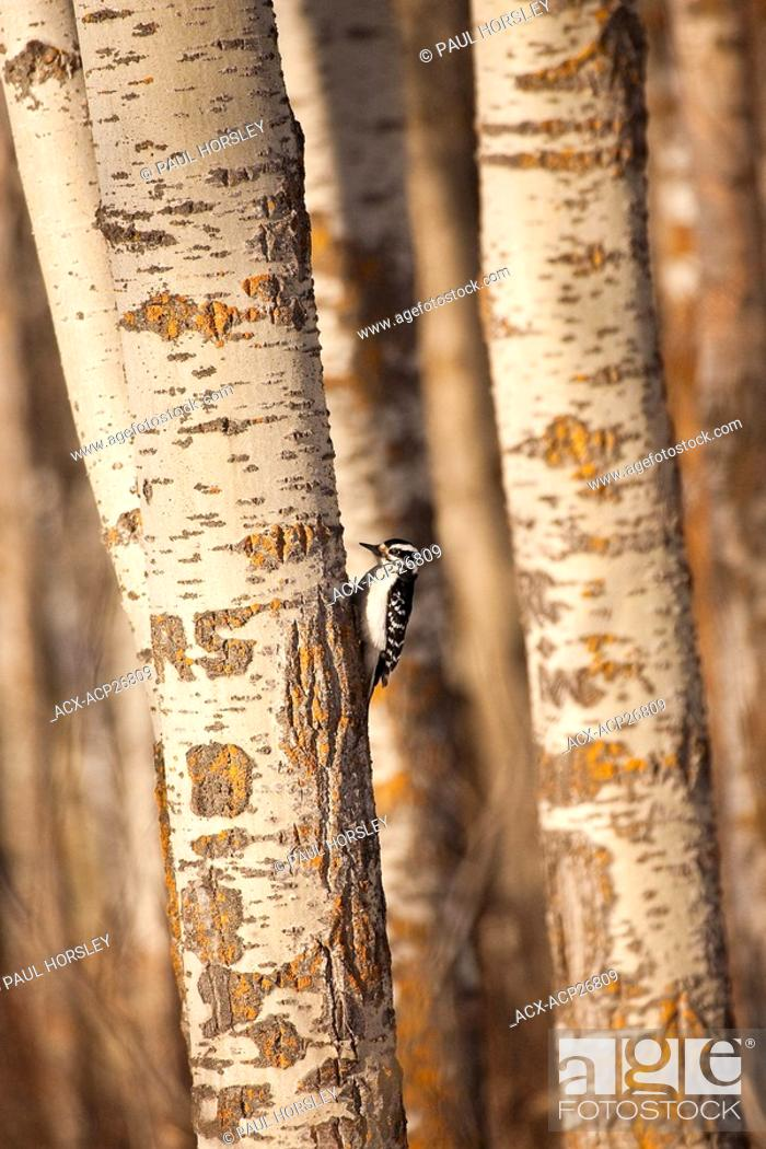 Stock Photo: Downy Woodpecker picoides pubescenscrawling up tree trunk.