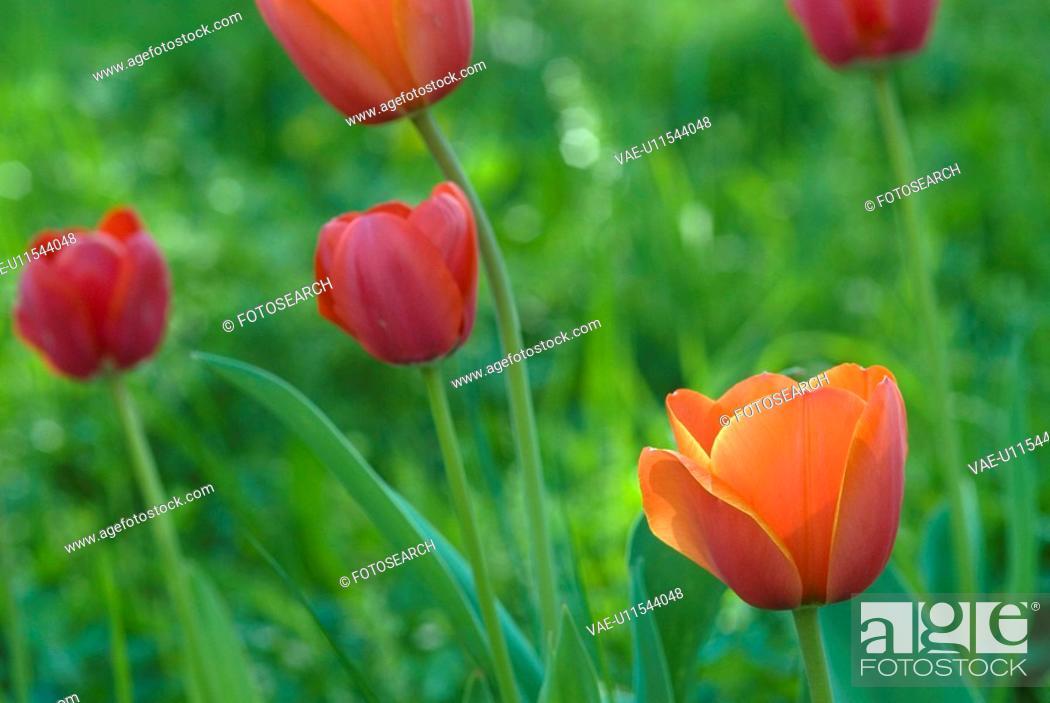 Stock Photo: Fruehlingsblumen, grass, spring, Spring, Tulpenbeet, tulip, redly.