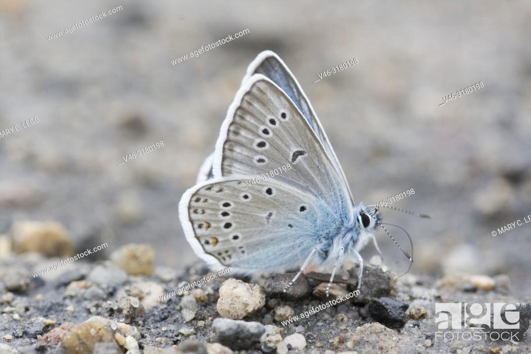 Stock Photo: Newly emerged Amanda's Blue, Polyommatus amandus taking salts from the gravel.