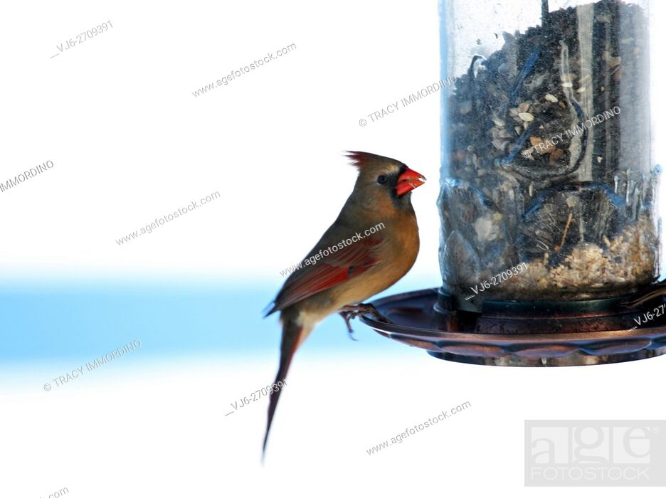 Stock Photo: Close up of a female Northern Cardinal, Cardinalis Cardinalis, sitting at a birdfeeder in winter, side view in Trevor, Wisconsin, USA.