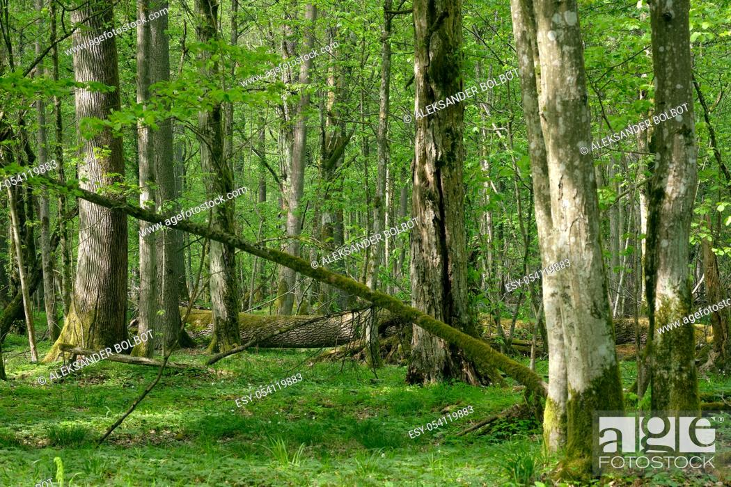 Stock Photo: Old natural deciduous stand with oak trees and broken one lying in background, Bialowieza Forest, Poland, Europe.
