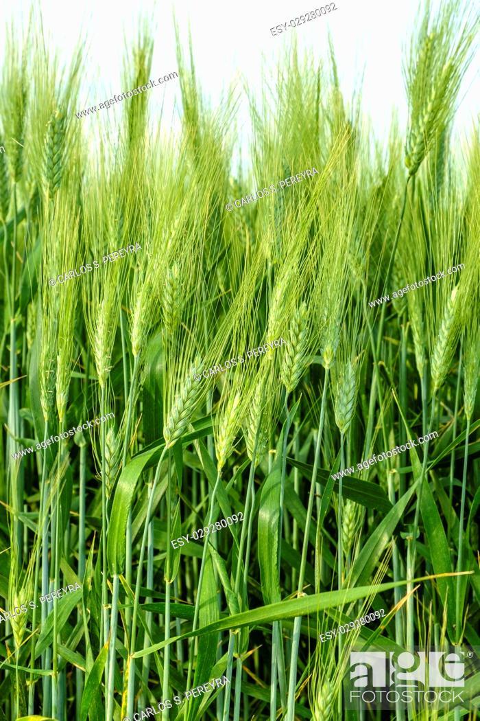 Stock Photo: Wheat fields, Val d'Orcia, Tuscany Italy.