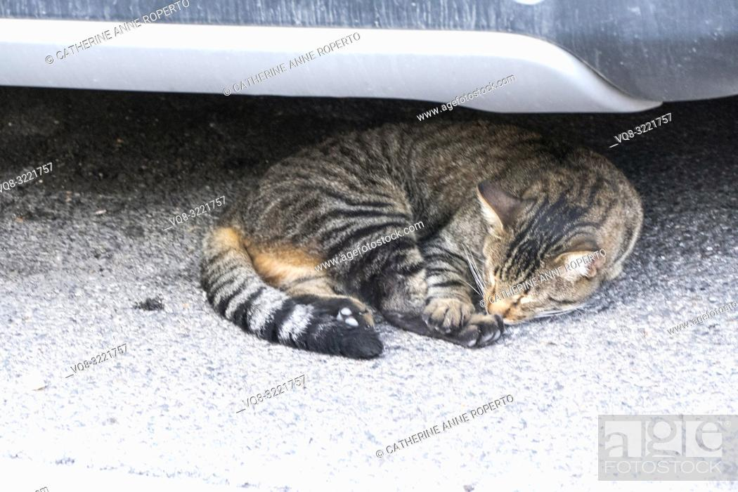 Imagen: Stripy, tortoiseshell cat with ginger undertones curled up asleep on the grey tarmac underneath a car bumper in L'Isle-sur-la-Sorgue, Vaucluse, Provence, France.