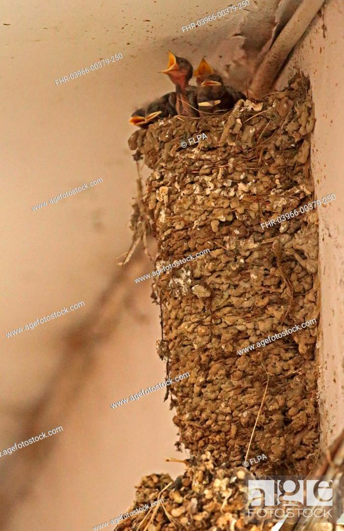 Stock Photo: Barn Swallow (Hirundo rustica gutturalis) chicks at nest in shopping arcade, nest has been continually occupied for twenty years, Taipei City, Taiwan, April.