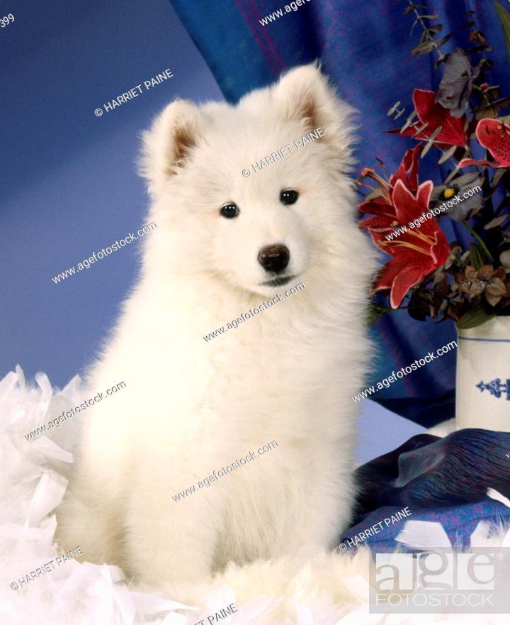 Stock Photo: Samoyed: type of breed.